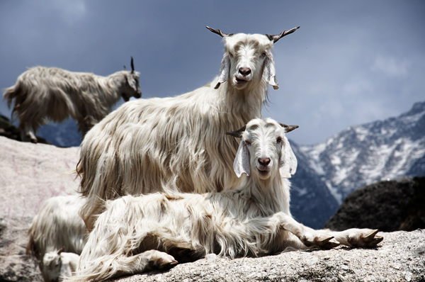 In the Himalaya as well, they also use milk from mountain goats besides cow milk for the production of Kefir.